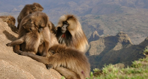 Baboons in Wildest Africa