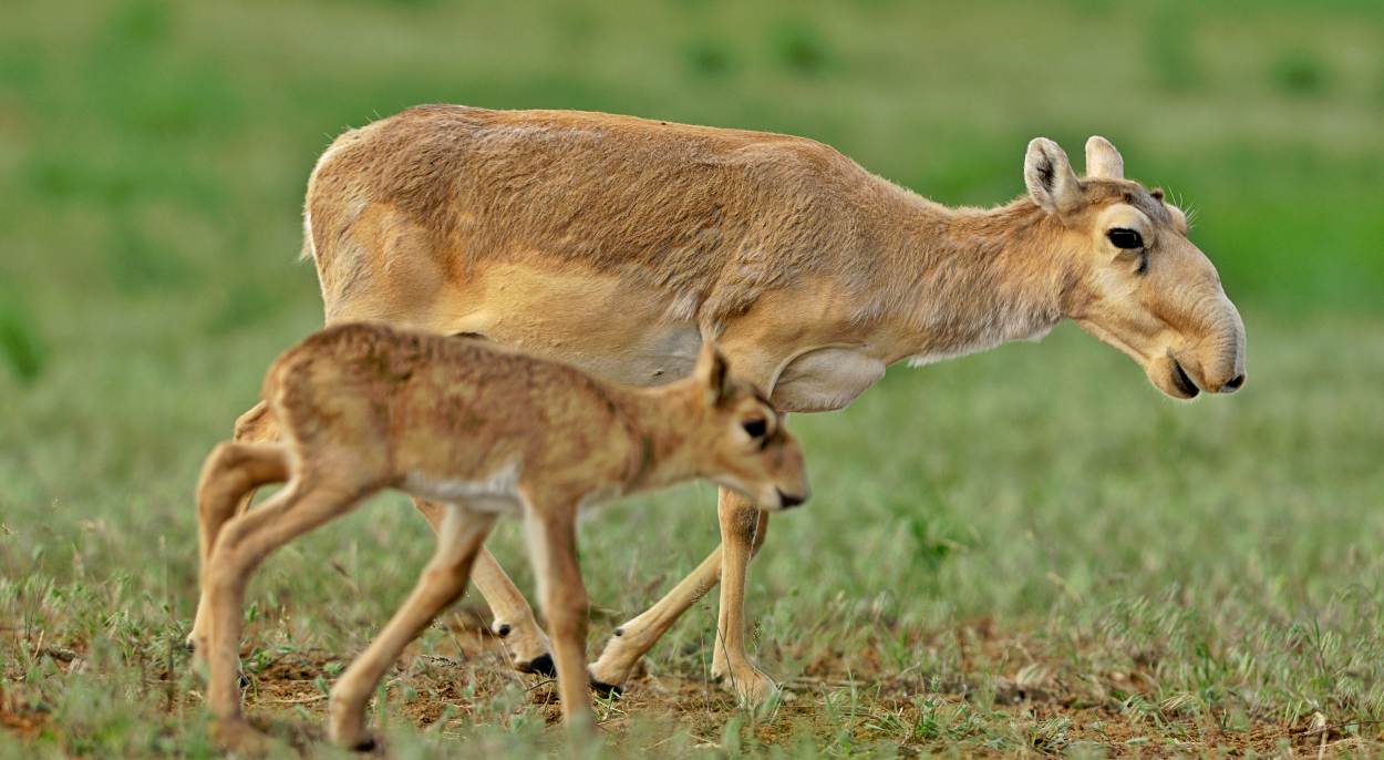 A female Saiga and her fawn.