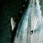 Image of what looks like another tuna with another kind of mermaid spear in it.