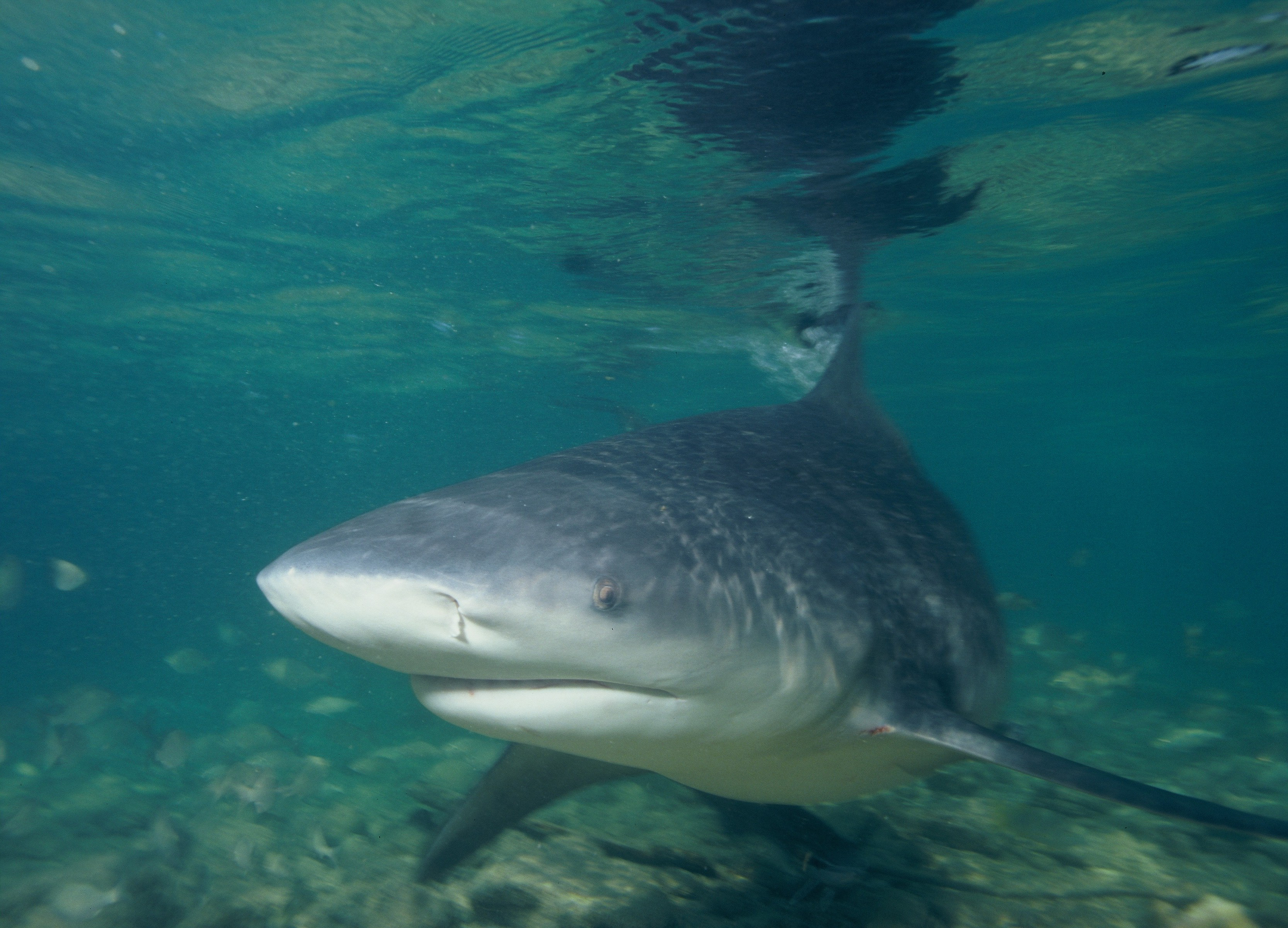 Shark Week 2013 – <em> Voodoo Shark </em>