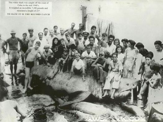 Image of a crowd of people gathered around a great white shark named El Monstruo.