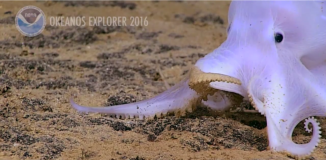 Image of a previously unknown Octopus on the ocean floor