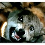 Image of a Life After: Chernobyl commercial with one of the supposedly radioactive wolves.