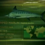 Image of Striped Marlin stats from the new season of River Monsters.