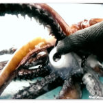 Image of a Humboldt squid's beak