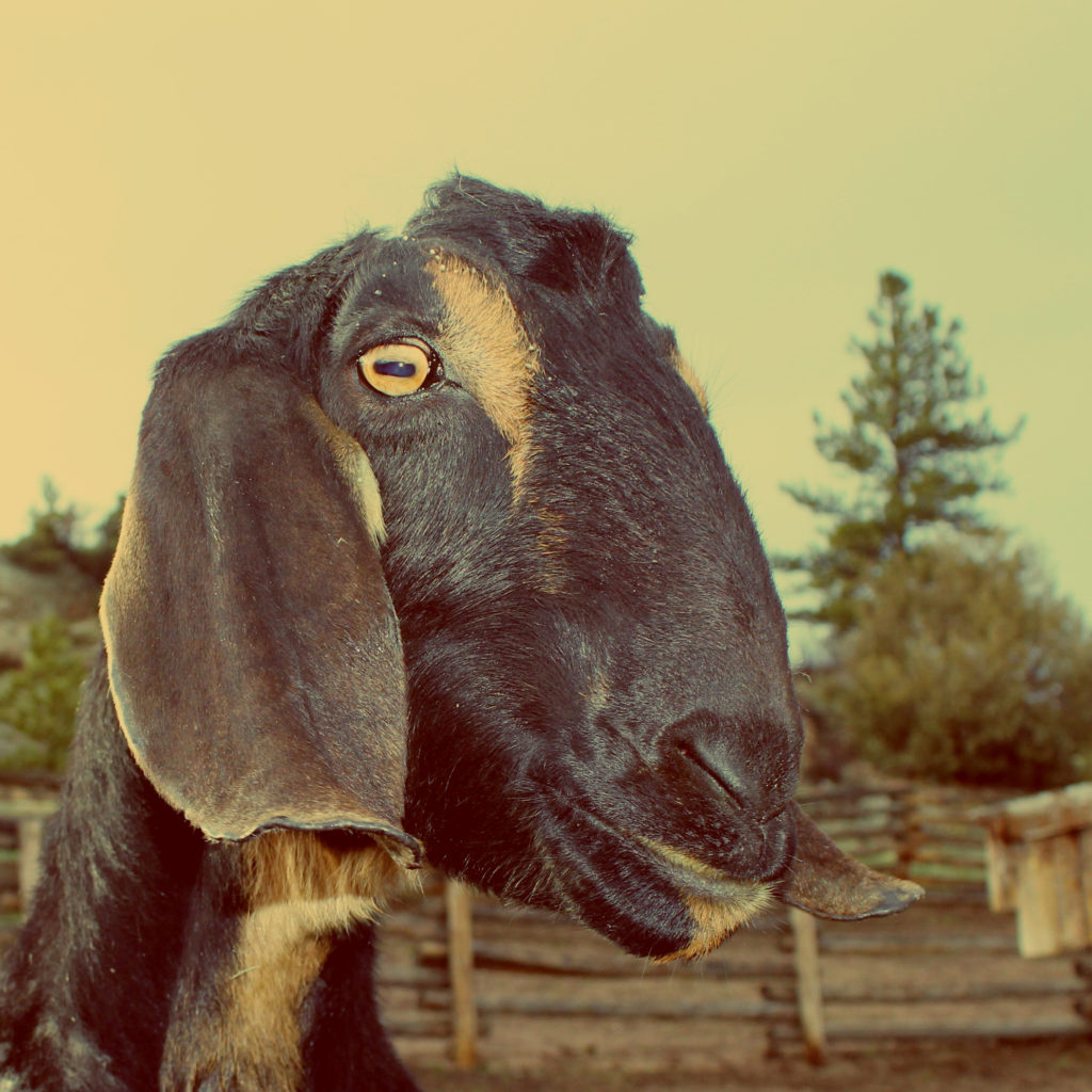A portrait of Andy the goat